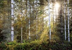 Birch Woods Pacific Northwest Streaming Sunshine royalty free stock image