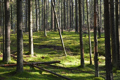 Dark forest with fir and pine trees Stock Photo