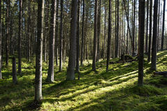 Dark forest with fir and pine trees Stock Image