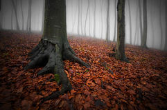 Dark forest with fog, red leaves and trees with big roots on halloween. In late autumn stock photos