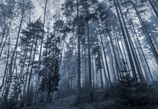 Dark forest with fog and tall trees Stock Photos