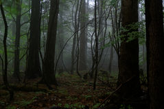 Dark forest. Foggy dark forest in the morning royalty free stock images