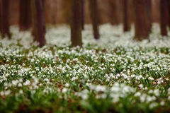 Dark forest full of snowdrop flowers in spring season - wide-angle view of nature with extremely blurred background. Snowdrop flow Royalty Free Stock Images