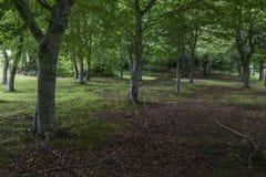 Dark forest in Ireland, Wicklow Royalty Free Stock Photo