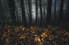 Dark forest landscape with mysterious fog in autumn Royalty Free Stock Images