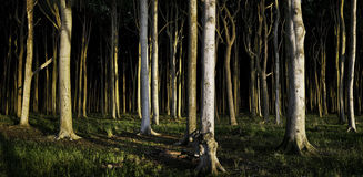 Dark Forest Panorama Stock Image