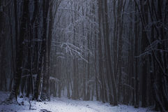 Dark forest with snow in winter Stock Images