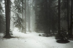 Dark forest with snow in winter Royalty Free Stock Image