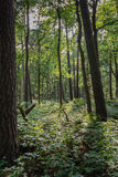 Dark forest in summertime Royalty Free Stock Photography
