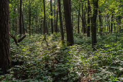 Dark forest in summertime Royalty Free Stock Photo