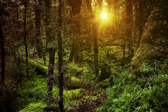 Dark forest at sunset Royalty Free Stock Photography