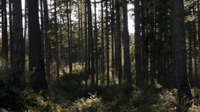 Dark forest with tall trees stock footage