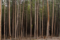 Dark Forest of Tall Trees. A dark forest of tall trees Stock Image