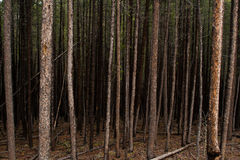 Dark Forest of Tall Trees. A dark forest of tall trees Stock Images