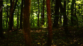 Dark forest, trees background, green nature landscape, wilderness, august, pan stock video