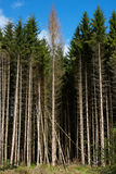 Dark forest under a clear blue sky. Somewhere in Germany Royalty Free Stock Photography
