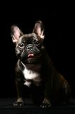 Dark french bulldog on black. Dark french bulldog poising on studio. Isolated on black stock photography
