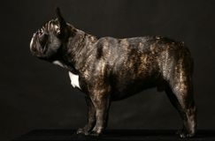 Dark french bulldog on black. Dark french bulldog poising on studio. Isolated on black stock image