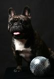 Dark french bulldog on black. Dark french bulldog poising on studio. Isolated on black royalty free stock images