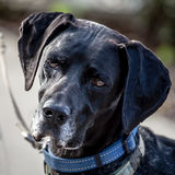 Dark German Shorthaired Pointer Dog Head Looking Thoughtful Royalty Free Stock Photography
