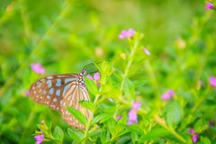 The dark glassy blue tiger butterfly is perched on purple Mexican heather flowers. Selective focus stock images