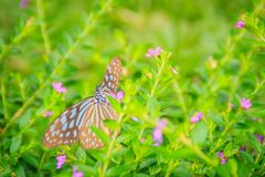 The dark glassy blue tiger butterfly is perched on purple Mexican heather flowers. Selective focus royalty free stock images