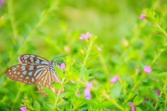 The dark glassy blue tiger butterfly is perched on purple Mexican heather flowers. Selective focus royalty free stock image