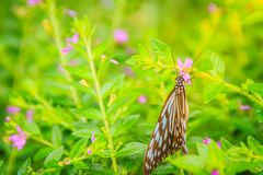 The dark glassy blue tiger butterfly is perched on purple Mexican heather flowers. Selective focus royalty free stock photos