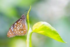Dark Glassy Tiger butterfly Stock Photo