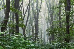 Dark gloomy mysterious forest in the morning. Dense fog in dense stock photo
