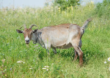 Dark goat Stock Photo