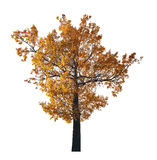Dark gold fall oak isolated on white Stock Image
