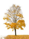 Dark gold maple and fall leaves on white stock photo