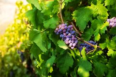 Dark grape on sunny midday Royalty Free Stock Image