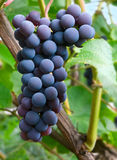 Dark grapes Stock Photo