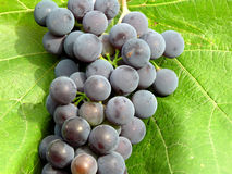 Dark grapes. Dark juicy grapes ready to harvest Royalty Free Stock Images