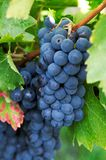 Dark Grapes Royalty Free Stock Photos