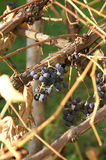 Dark grapes in autumn. Dark grapes on a bush during autumn Royalty Free Stock Photography