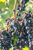 Dark grapes ripen on the perennial. Near the city Jena Royalty Free Stock Photos