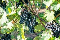 Dark grapes ripen on the perennial. Near the city Jena Stock Photo