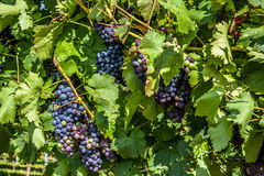 Dark grapes in the vineyard Stock Photography