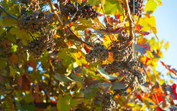 Dark grapes for wine on canes Stock Photos