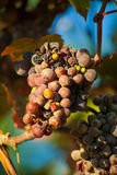 Dark grapes for wine on canes Stock Photography