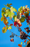 Dark grapes for wine on canes Stock Photo