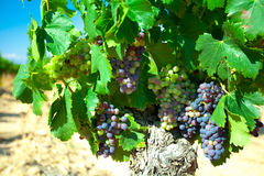 Dark grapes for wine on canes Royalty Free Stock Photography