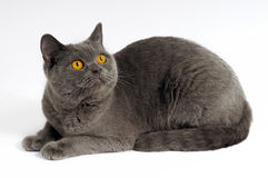 Dark gray cat Stock Photos