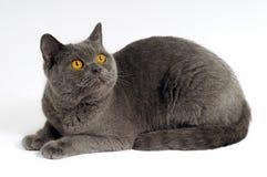 Dark gray cat. Posing on a white background stock photos