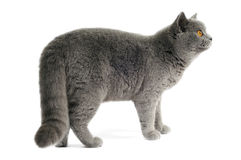 Dark gray cat Royalty Free Stock Image