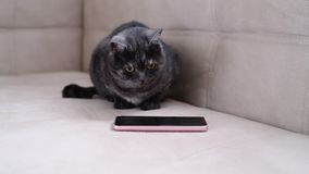 Dark gray cat watching the game for cats on phone stock footage