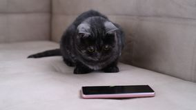 Dark gray cat watching the game for cats on phone stock video